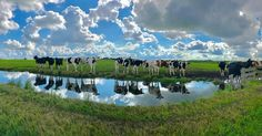 Family reunion #iphoneography #iphone7 #photography #blogger #dontsnapshoot #igersamsterdam #amsterdamphotoclub #cows #reflection #sunny
