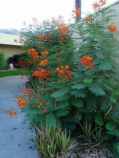 need lots of light don't need too much water :  'Pride of Barbados'