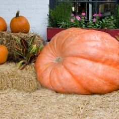 This is a guide about growing giant pumpkins. Growing giant pumpkins is fun for young and old alike.
