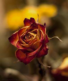 dried rose by 4GottenWords.deviantart.com on @deviantART