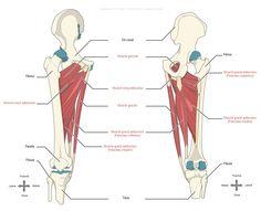 Les muscles adducteurs de la hanche : long adducteur, court adducteur, grand adducteur, pectiné et gracile