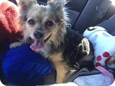 Peoria, AZ - Chihuahua/Pomeranian Mix. Meet Mila, a dog for adoption. http://www.adoptapet.com/pet/17258600-peoria-arizona-chihuahua-mix