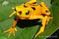 Google Image Result for http://www.edgeofexistence.org/amphibian_conservation/images/atelopus_zeteki.jpg