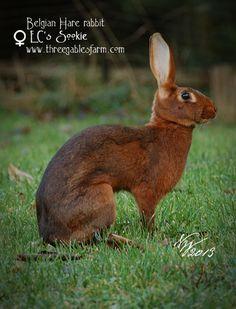 Three Gables Belgian Hares_doe_Sookie_02