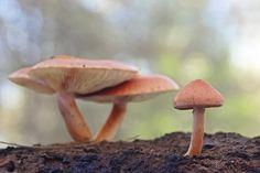 """Gymnopilus suberis"" by carlespoveda, via Flickr"