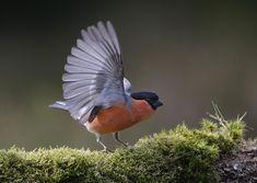 Bullfinch, Nature, Wildlife, Photos, Instagram, Birds, Change, Beautiful, Animaux