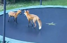 A pair of foxes find themselves on a trampoline and it doesn't take long for them to figure out how to enjoy it! An amazing video!!!