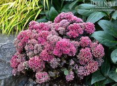 Sedum 'Dynamite' - Very short and dense with deep rose red flowers and dark, dusky foliage. Very large flower heads and stout habit introduced by Terra Nova®.