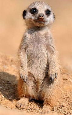 Baby Mammals | Meerkat - Desert Scout | Animal Pictures and Facts | FactZoo.com