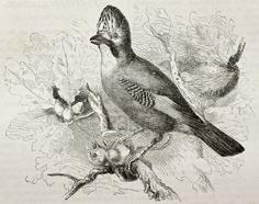 Eurasian jay bird