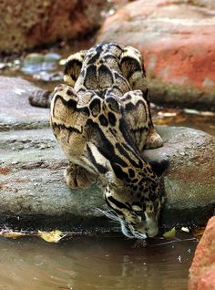 Stunning markings. The clouded leopard has large feet, short legs and a long tail, which help it to move about in the trees.