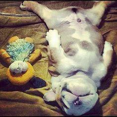 Love looks like this Sleeping bulldog