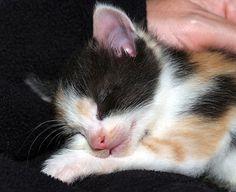 Pebbel [4]  kitten