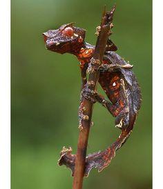 Leafgecko