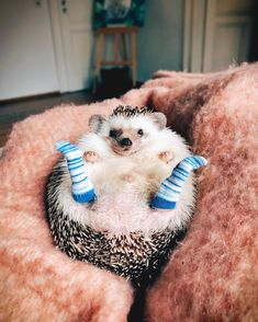 Like my new socks? 🧦💙 #hedgehog #socks #weeklyfluff #mood #cozy