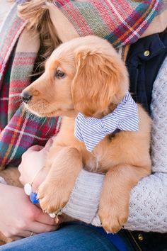 Golden retriever puppy with a bow tie! Puppy @dcubbagephoto  http://clients.danacubbageweddings.com/katiedavid/