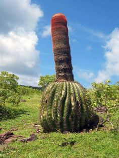 Native to the West Indies. Cactus Planta, Cactus Y Suculentas, Unusual Plants, Exotic Plants, Cacti And Succulents, Planting Succulents, Weird Fruit, Baobab Tree, Succulent Wall