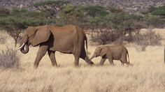 Elephants in Samburu-soundlessly marched out of the trees, passed us by and were gone much too quickly.