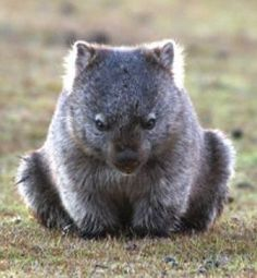 Wombat. It looks like a big cuddly teddy bear, but with a pouch.
