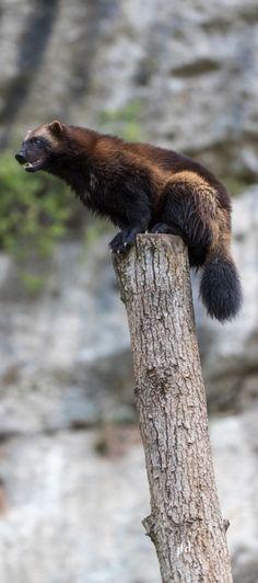 "Wolverine (/ ˈwʊlvəriːn /) (also spelled wolverene), Gulo gulo (Gulo is the Latin for ""glutton""), also referred to as glutton, carcajou, sku Wolverine Animal, Wolverine Art, Animals Of The World, Animals And Pets, Cute Animals, Fierce Animals, Grumpy Cat, Beautiful Creatures, Animals Beautiful"