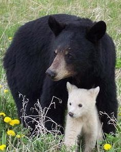 Black Bear with her Spirit Bear Cub, Marintoba.                                                                  --------------------------------------  Seen in the wild