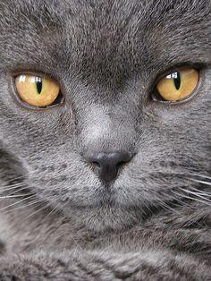 beautiful face #cat #grey