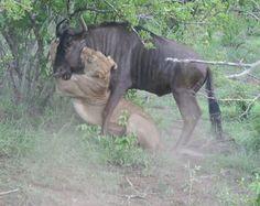 FIGHT-Lion-wildebeest