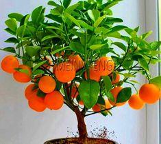 4 kind Fruit Bonsai Tree Seeds Vegetable Garden Plant Delicious Apple Orange Kiwi Cherry