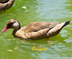 Amazonetta brasiliensis. Aves do Brasil: Ananaí ou Pé-vermelho