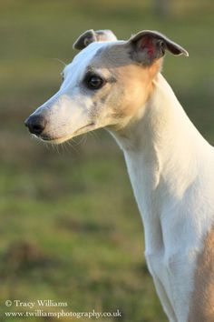 Posing Whippet by ~twilliamsphotography