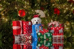 Great Pyrenees puppy -- First Christmas