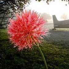 Blood Lily Also Known As Fireball Flower Bulbs For Bulb Flowers Bamboo