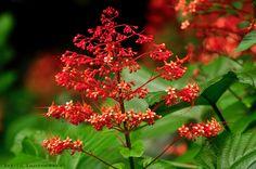 Pagoda Flower / Hanuman Kireedam / Krishna Kireedam / Clerodendrum paniculatum