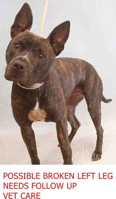 SUPER URGENT Manhattan Center DIAMOND – A1068698 ***POSSIBLE BROKEN LEFT LEG – NEEDS FOLLOW UP VET CARE*** FEMALE, BR BRINDLE, AM PIT BULL TER MIX, 1 yr, 8 mos STRAY – ONHOLDHERE, HOLD FOR ID Reason STRAY Intake condition EXAM REQ Intake Date 09/25/2016 http://nycdogs.urgentpodr.org/diamond-a1068698/
