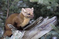 marten animal | Marten Animal I Alaska Travel Photos