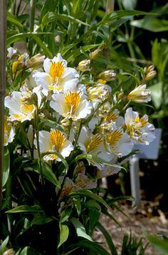 Alstroemerias - grow in pots according to Helen Dillon: Peruvian lily 'Apollo' Centerpiece Ideas, Flower Centerpieces, Beautiful Gardens, Beautiful Flowers, Flowers Name List, Peruvian Lilies, Number 10, Garden Oasis, Fruit Plants
