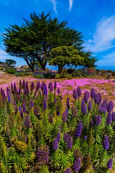 Carpet of mesembryanthemum flowers along the Monterey Bay Coastal Trail in Pacific Grove, Monterey, California, USA