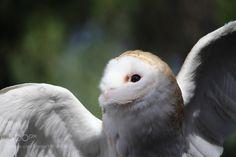 Barn Owl by milesmcleod #animals #animal #pet #pets #animales #animallovers #photooftheday #amazing #picoftheday
