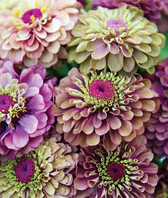 """Queen Red Lime is an exotic bicolor zinnia with 2 1/2"""" to 3"""" flowers that are thickly layered with maroon red petals, then crowned with lime green. Vigorous plants grow to 40"""" high, with long-stemmed, uniformly colored blooms. Use in masses for borders and in fresh bouquets. Seeds from Burpee."""