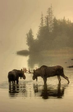 Elk said by original pinner. Let everyone acknowledge that this is Moose.  Or meese? Meeses and mooses.