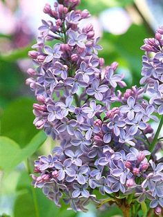 When lilacs bloom, it's suddenly spring. With their sweet scent, pastel blooms and delicate, heart-shape leaves, they're the perfect bouquet.
