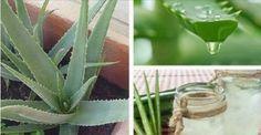 Perché coltivare Aloe Vera in Casa?