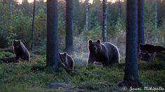 Ajatukseni ovat tekemiäni mielikuvia Harjoitus 15 Black Bear, Panther, Animals, American Black Bear, Animaux, Panthers, Animal, Animales, Animais