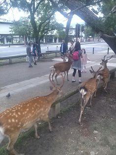 #nara #narapark #deer #奈良 #奈良公園 #鹿 さん 狙ってる!