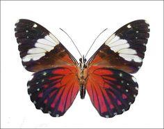 "Lépidoptères >Papilionoidea > Nymphalidae >Biblidinae >Hamadryas amphinome (Linnaeus)   ""Crépitant rouge""- "" Red Cracker"" (from French Guyana) vue ventrale"