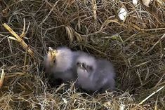 Baby Bald Eagle, Bald Eagles, Animals, Animales, Animaux, Animal, Animais
