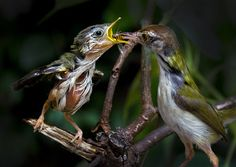 Samrat Goswami - Feeding. A baby common tailorbird is fed by his mother. Bishnupur in the District of Bankura.
