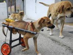 Sillas de ruedas para perros: facilita la vida de tu perro minusválido
