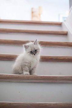 Gatos Ragdoll, Gatos Cats, Ragdoll Kittens, Kittens Meowing, Bengal Cats, Siamese Cats, Munchkin Kitten, Pretty Cats, Beautiful Cats