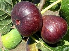 Higos a Brevas. Figs